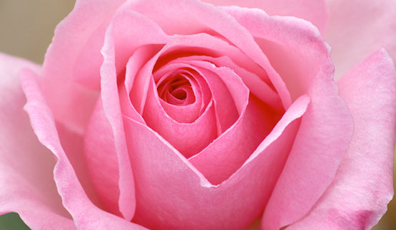 Photo of a pink rose taken from the International Health and Wellbeing Website Unimed Living